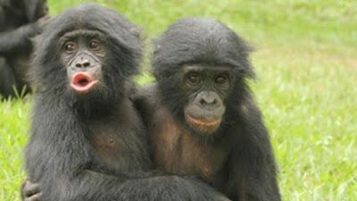 Bonobos falam como bebês
