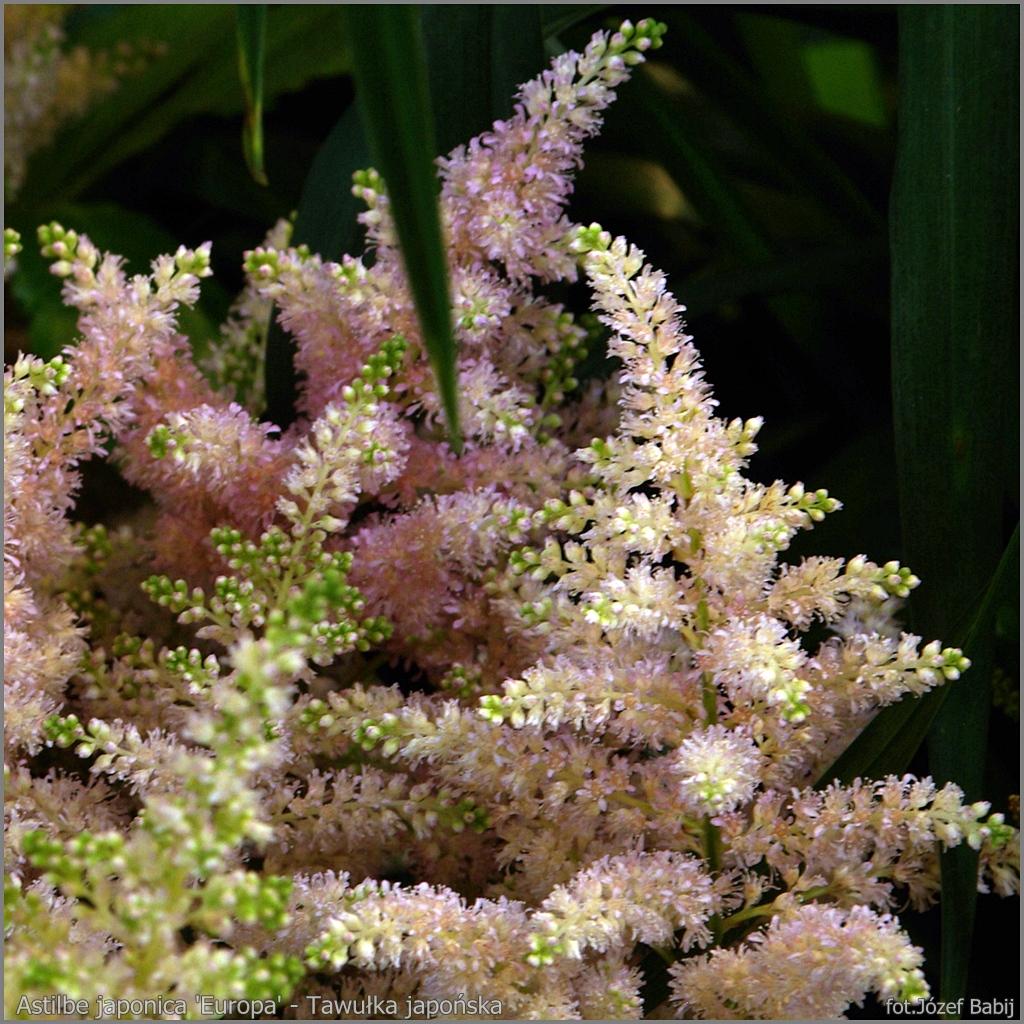 Astilbe japonica 'Europa' flowers - Tawułka japońska kwiaty