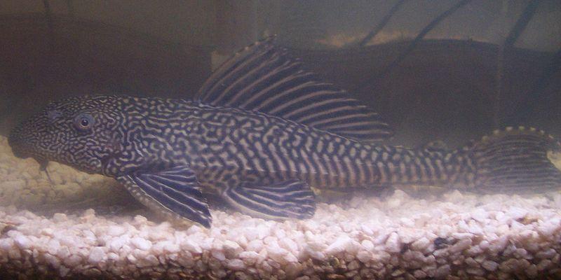 ... suckermouth catfish, Amazon sailfin catfish - Pterygoplichthys