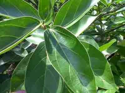 cincau adalah herbal pelangsing terbaik