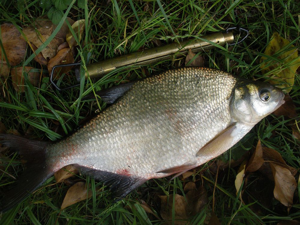 how to cook silver bream fish