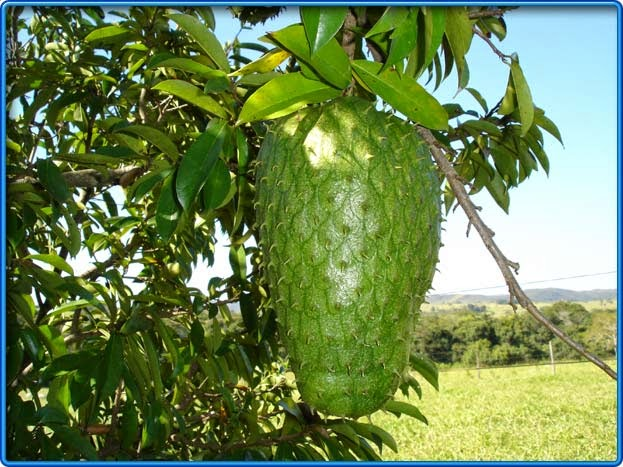 Health Benefits Of Graviola (Soursop) Fruit