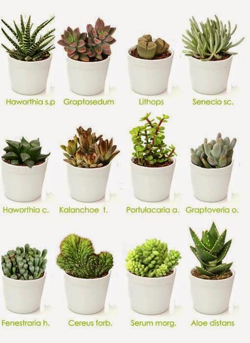 Cactos e suculentas by fl via fernandes interessante for Cactus tipos y nombres