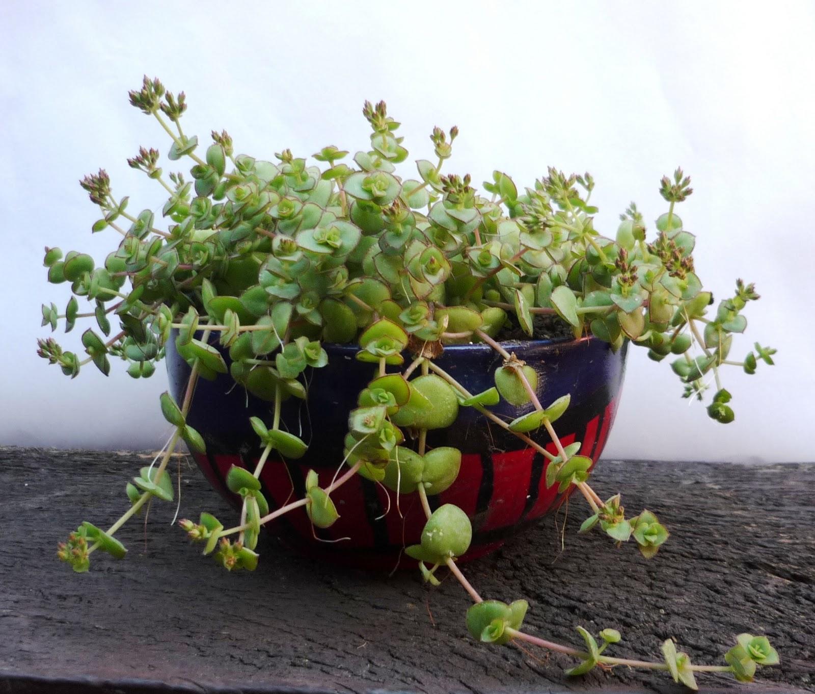Happy plants variedades especiales for Plantas suculentas colgantes