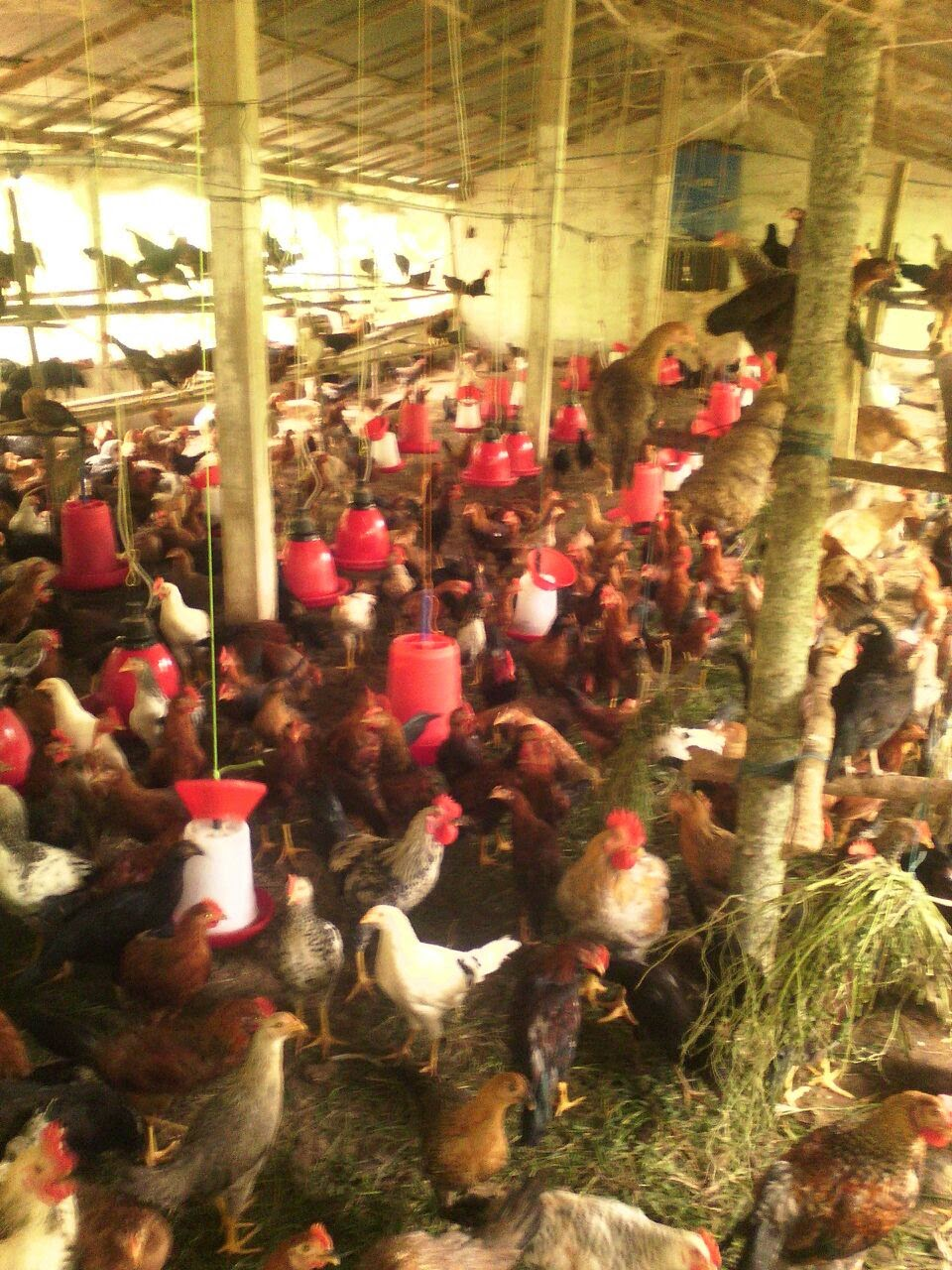mysuru naati kkoli backyard poultry farming country chicken
