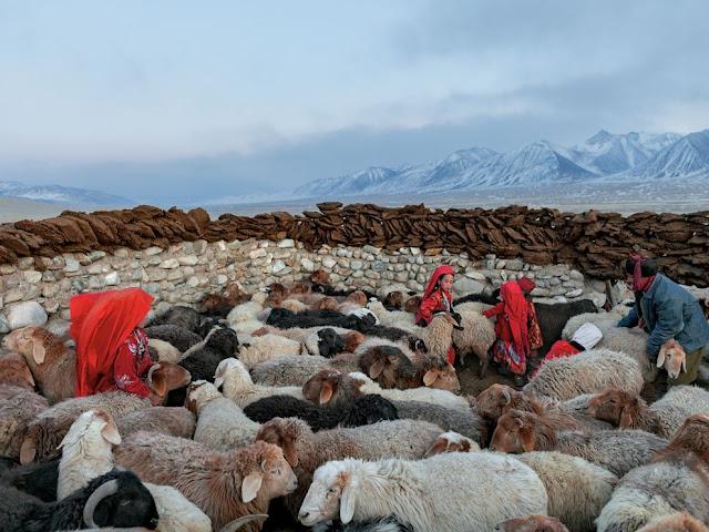 阿富汗(Afghanistan)的綿羊