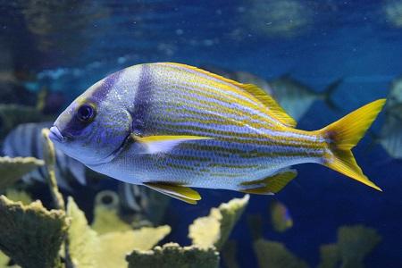 Porkfish