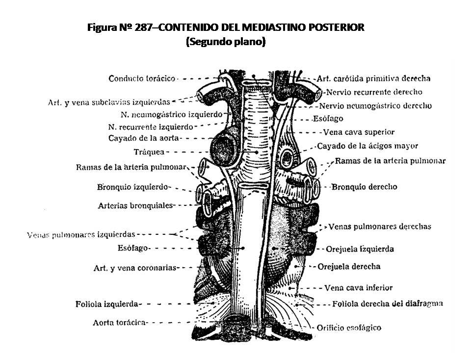 ATLAS DE ANATOMÍA HUMANA: 287. CONTENIDO DEL MEDIASTINO POSTERIOR ...