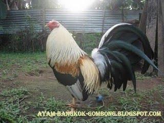 Ayam bangkok mania