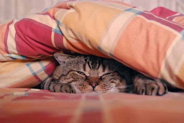 gatto sotto al piumone