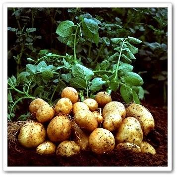 видео урок Сад и огород - Выращивание картофеля