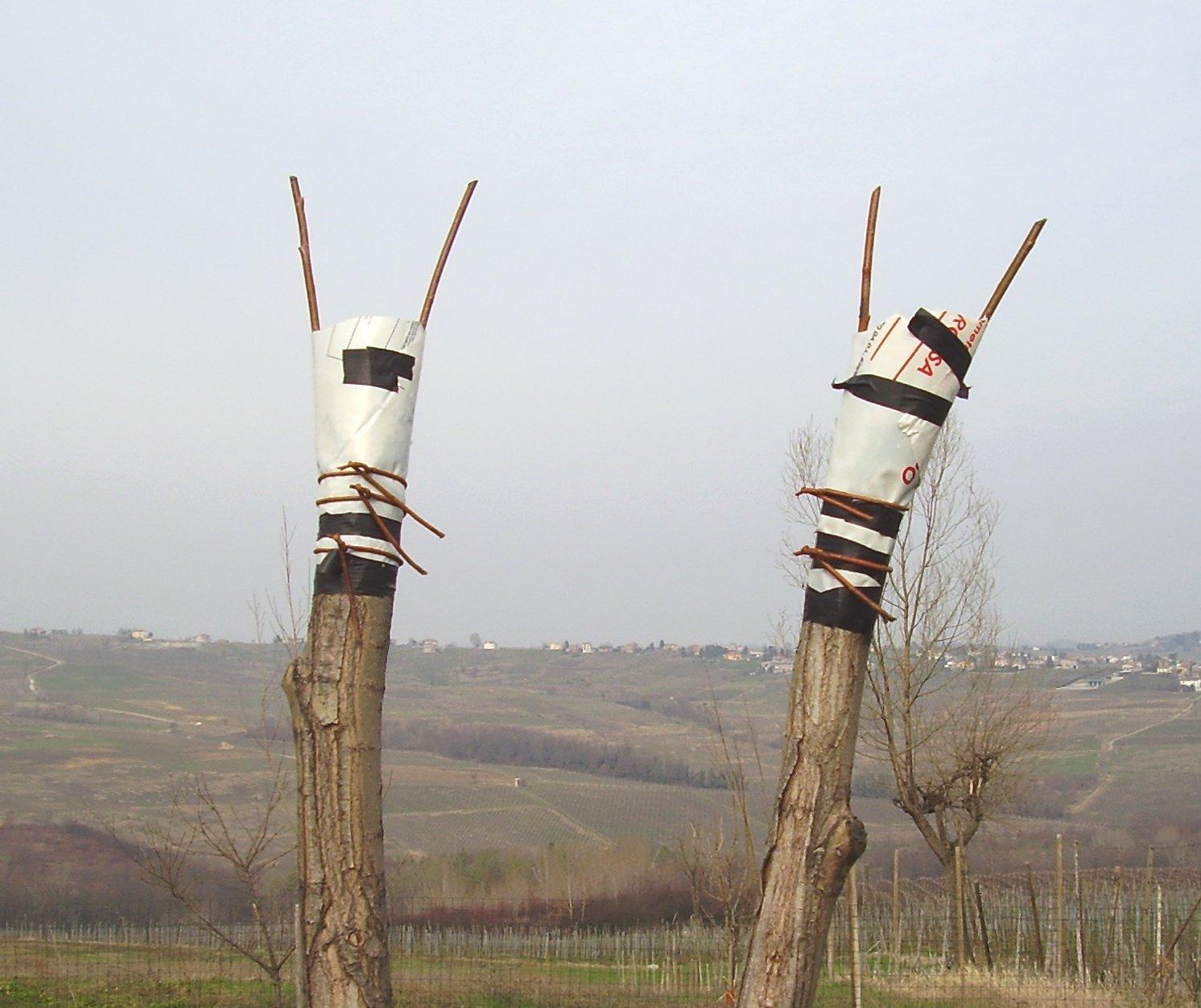 Nella vigna il salice per le legature viene usato da secoli