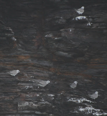 Grey Ternlet (Procelsterna albivitta)