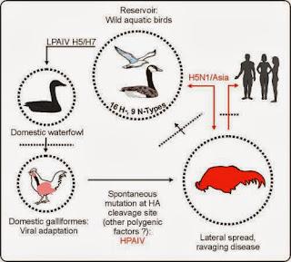Bệnh cúm gia cầm (AI) là do các virus thuộc thành viên của họ Orthomyxoviridae