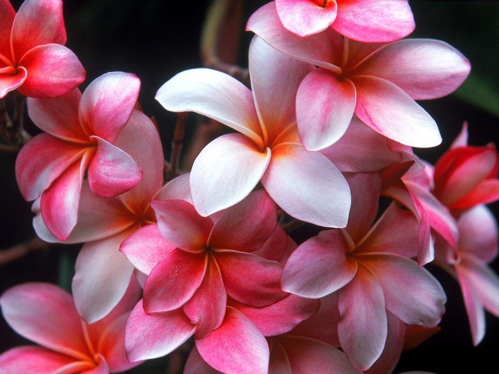 Flower picture plumeria flower pink plumeria flowers mightylinksfo