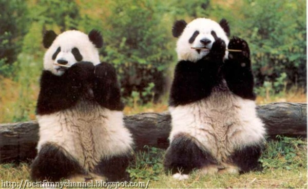 Cute and funny pictures of animals 29 pandas 2 funny pandas voltagebd Choice Image