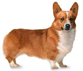 pembroke welsh corgi dogs breed info pets animal domestic hound