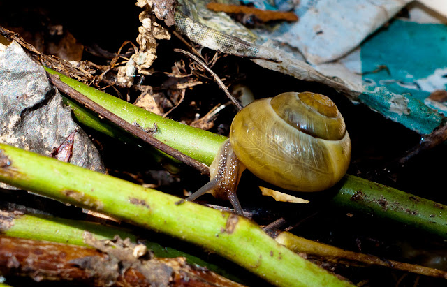 snail in compost heap
