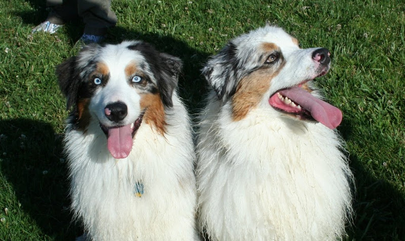 photo of two austrailian shepherds sitting right next to each other on a green field, their coats are slightly dirty from playing fetch in wet grass