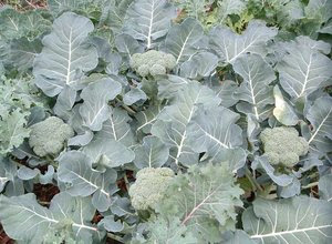 budidaya-brokoli.jpg