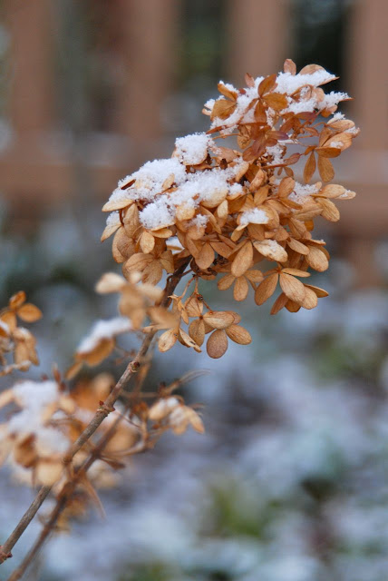 Hydrangea 'Limelight' and snow. These dried flowers persist quite well during the winter months.