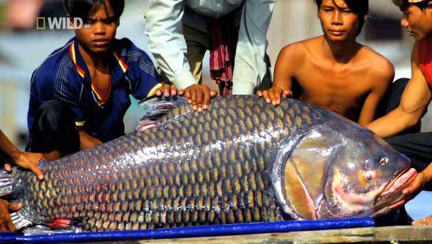 [Khám Phá] - Huyền thoại cá thầy chùa trên dòng Cửu Long 10
