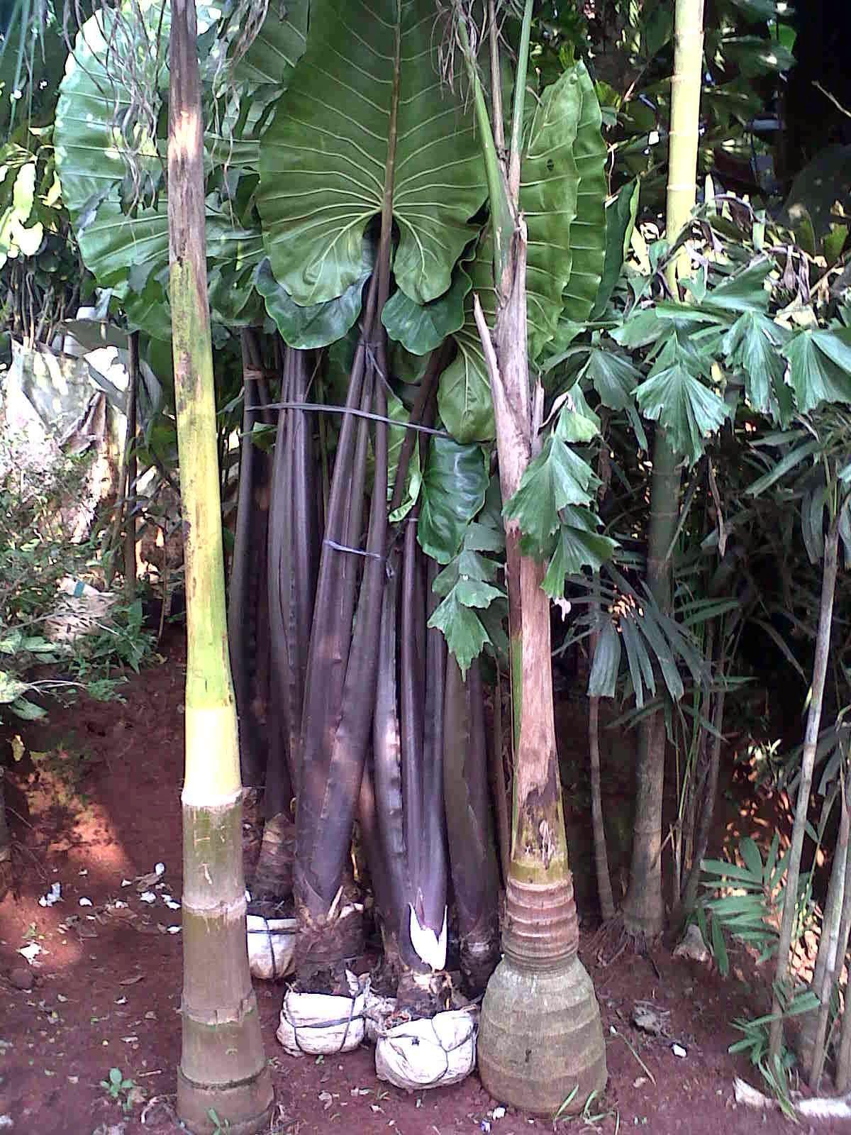 jual pohon keladi hitam