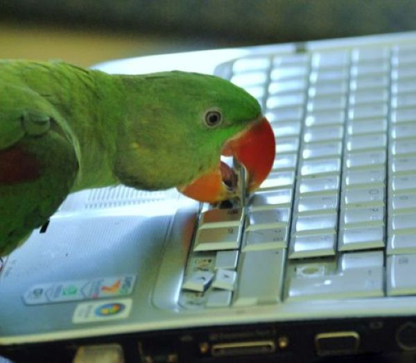 funny animals, parrot broke keyboard