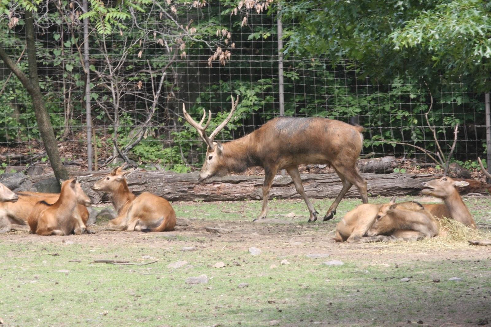 save nature save human père david u0027s deer