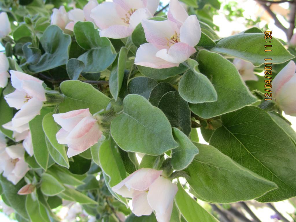 Azules imperfectos poes a flores del membrillo - Arbol de membrillo ...