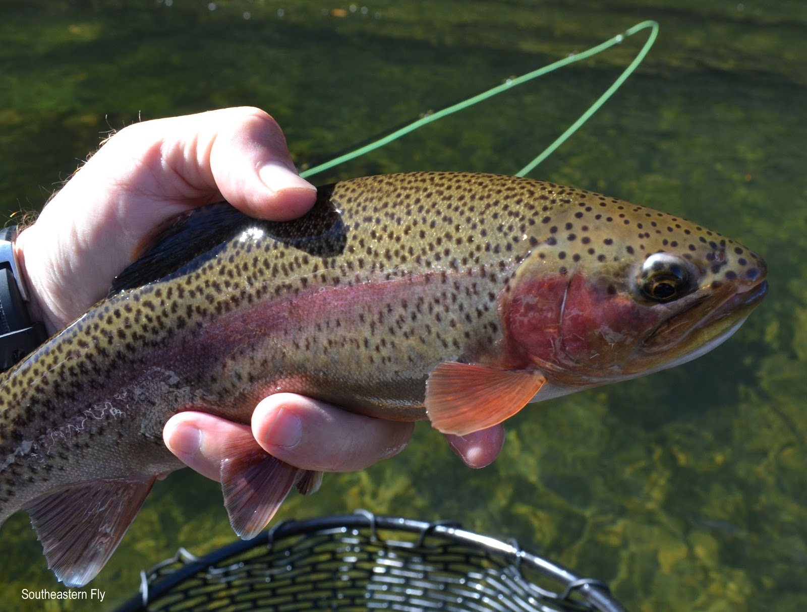 Southeastern fly middle tennessee fly fishing for Tims ford lake fishing report