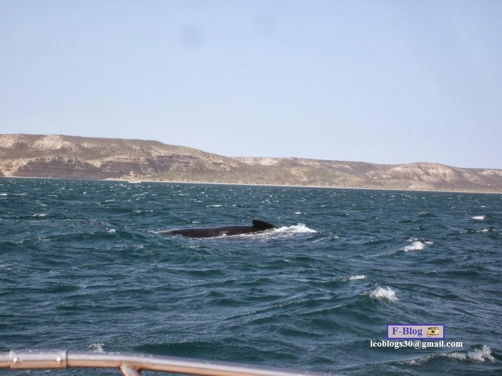 Ballena franca austral nadando junto con su ballenato