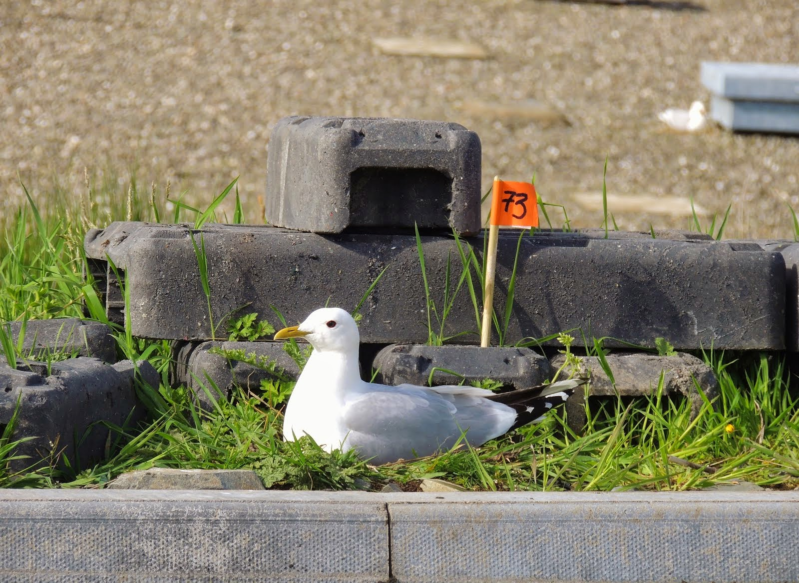 Support The Galloway Common Gull Study