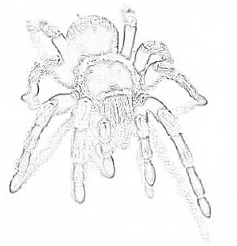 coloring pages tarantula - photo#27