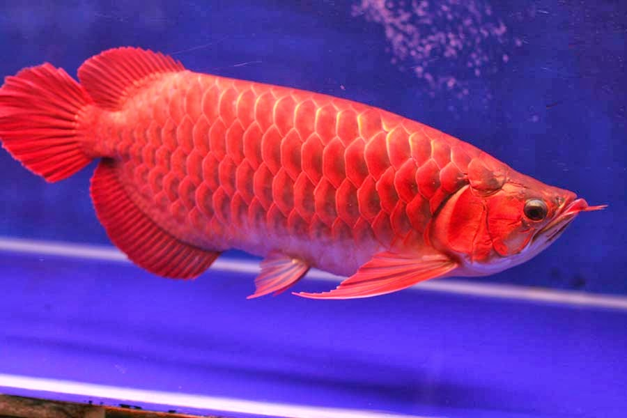 ikan arwana golden red mahato