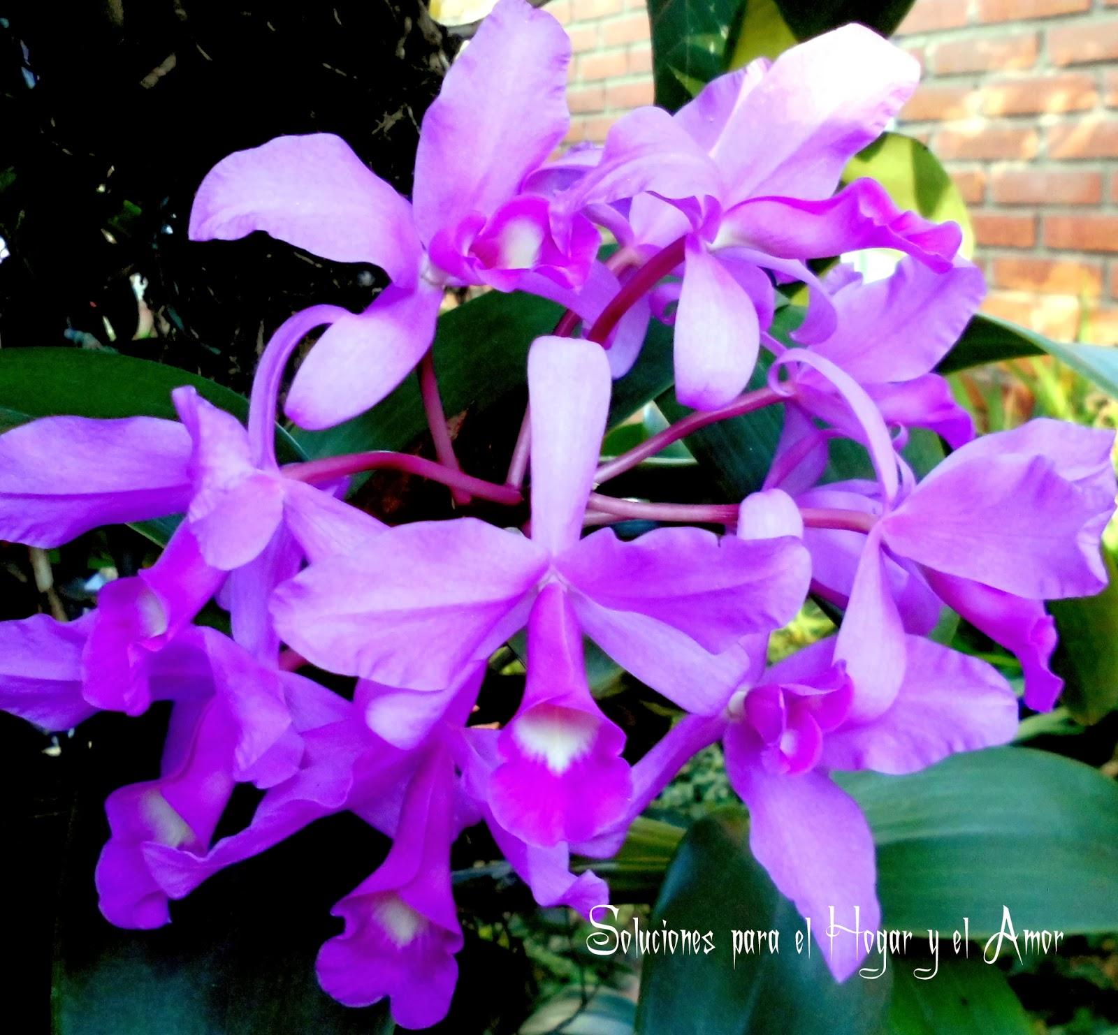 Orquídea Cattleya Skinneri, flores moradas, hermosas flores