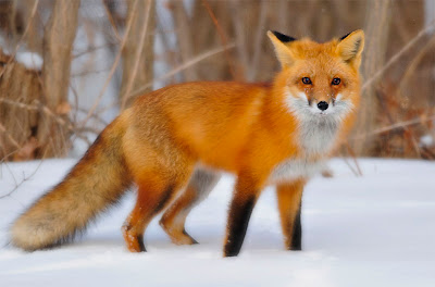 [Image: Red-Fox-In-Snow.jpg]