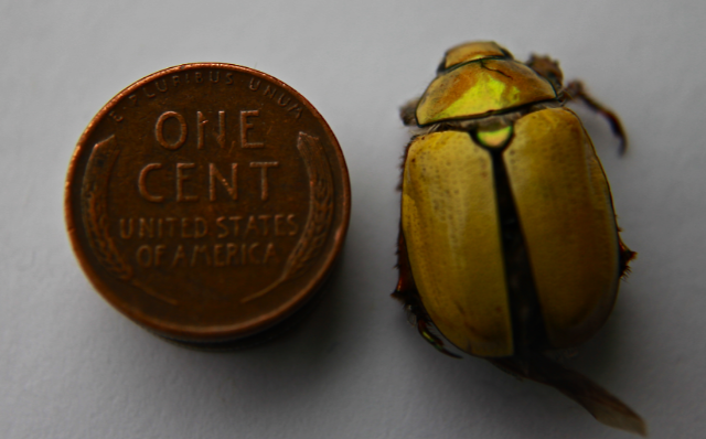 June Bug Bite June Bugs