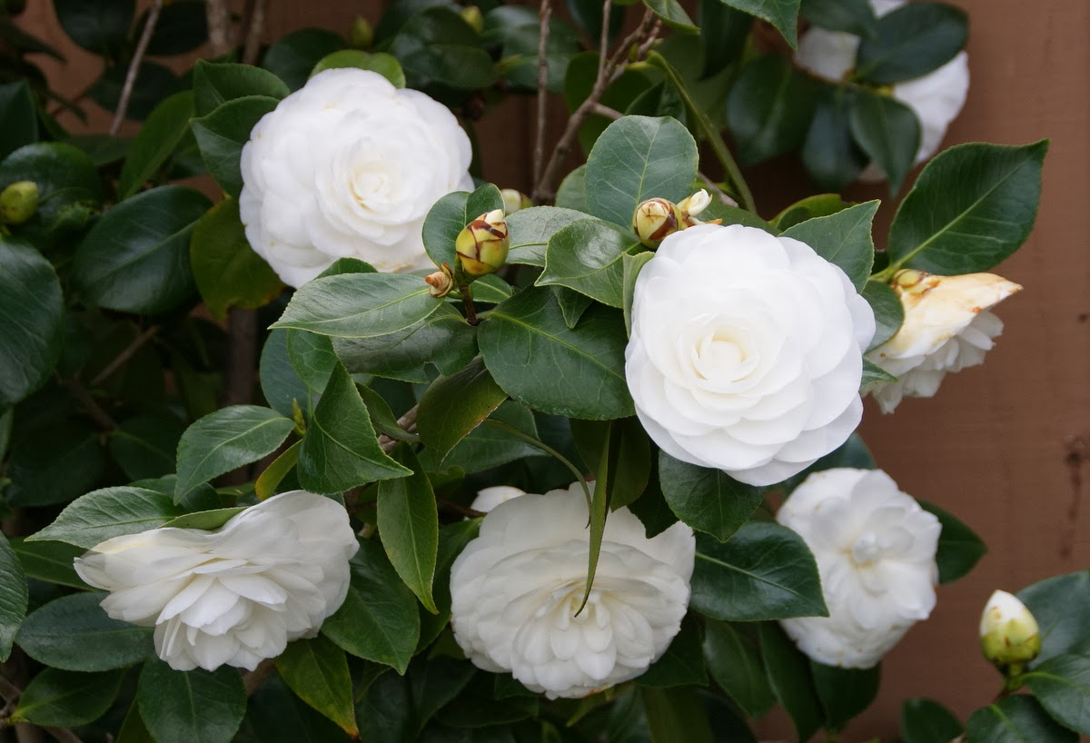 Organic garden dreams my white camellias are in bloom they just take my breath away with their ethereal beauty and i would like to share a few photos from my camellia bed with you today mightylinksfo