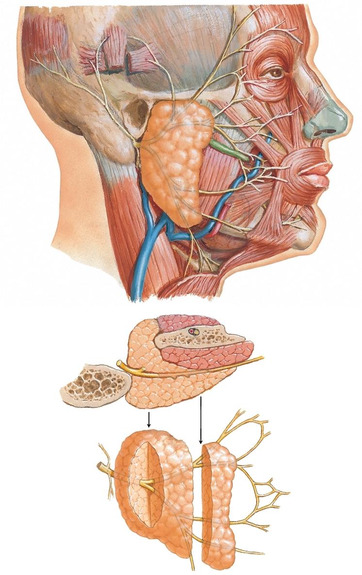Ramos del nervio facial y glándula parótida | Netter Blog