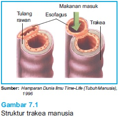 struktur trakea manusia