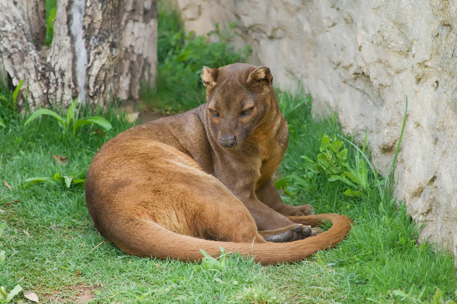 Fossa Animals Amazing Facts & Amp Pictures All Wildlife