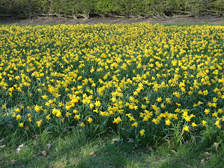 Daffodils at the Milton Keynes Tree Cathedral