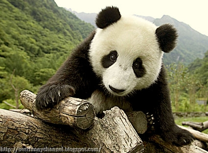 panda bears pictures 24