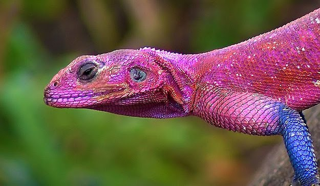 Colorful Pet Lizards Real Spider-Man Lizard...