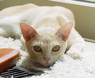 European Burmese Cat Pictures