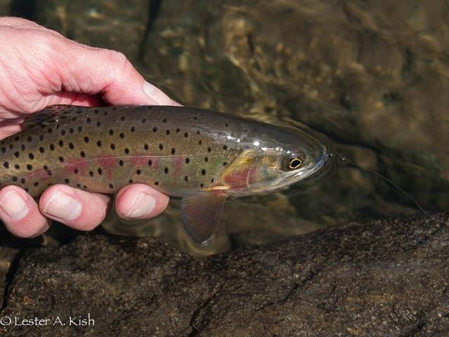 Yellowstone cutthroat trout, Pine Creek Lake, Montana.