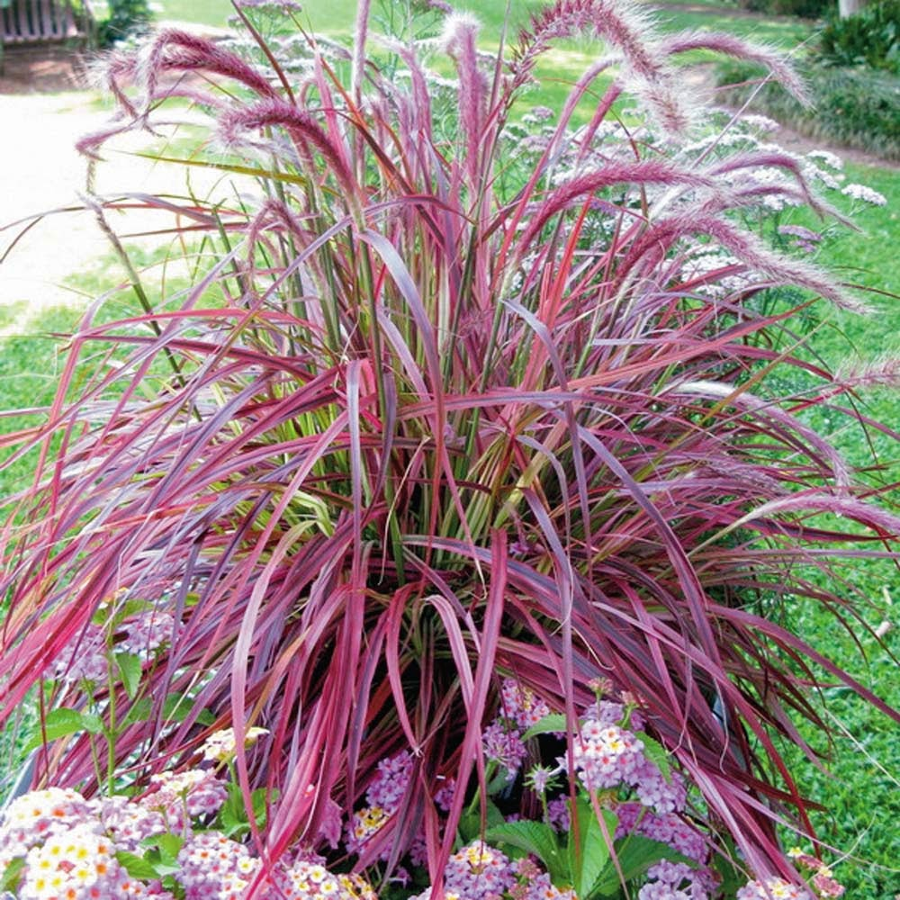 Plantwerkz red fountain grass pennisetum rubrum for Ornamental grass with pink flowers