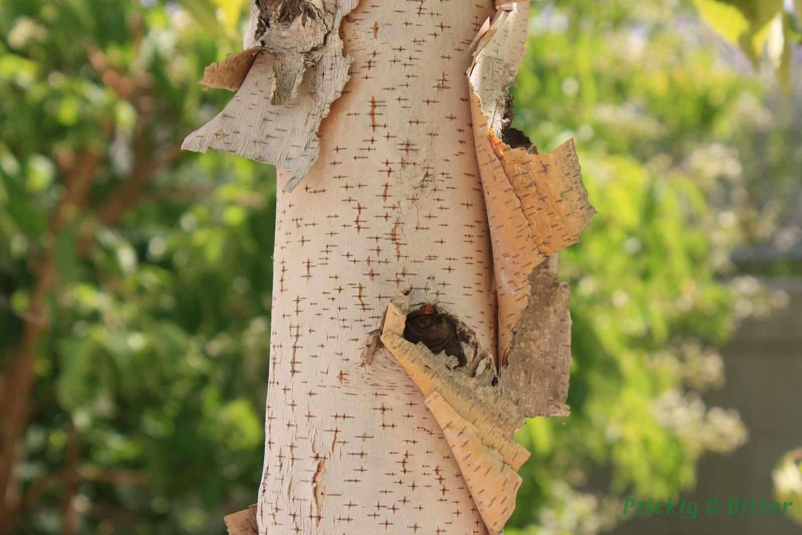 Prickly and bitter birch bark canoes in tree form for Tree trunk uses