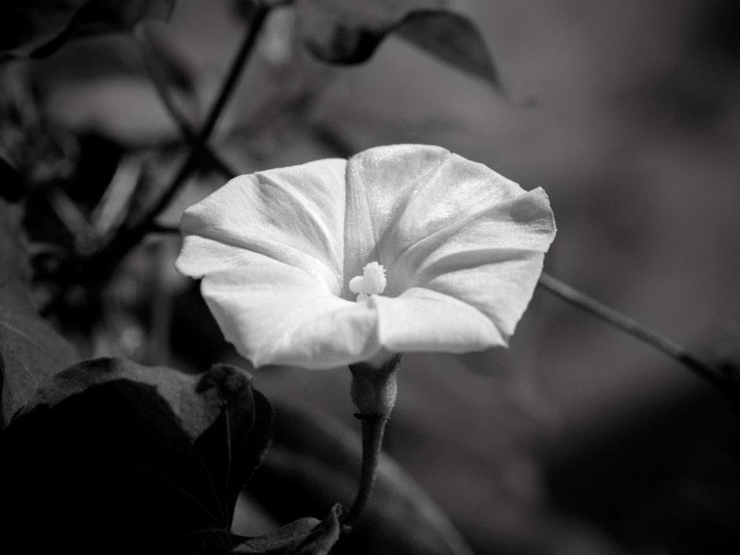 Black and White Hawaiian Flowers